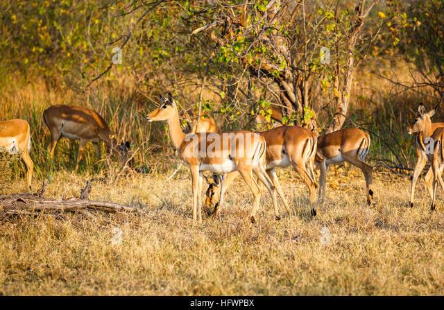 File:Female impala.jpg - Wikipedia