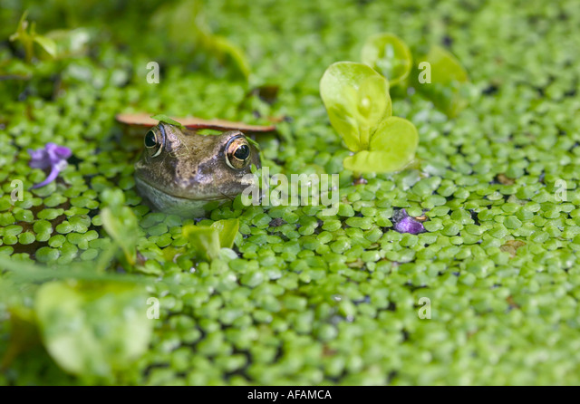 Frog dusk stock photos frog dusk stock images alamy for Garden pool duckweed