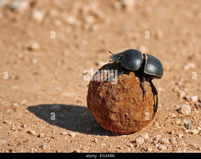 African Dung Beetle - Bing images Q The Dung Beetle