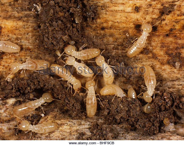 B And B Termites Termite Stock Photos &...