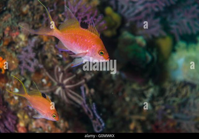 Sacura stock photos sacura stock images alamy for Fake fish that swim