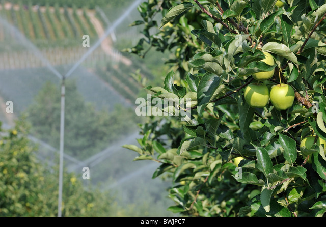 being an apple tree If it is an apple tree, and if you cut it really low down, close to the ground, the growth you're getting may be off the rootstock itself tree growing back after being removed 4 what's the tree with many leaves in one branch and grow tall 11.