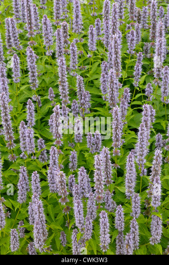 giant hyssop blue fortune - photo #11