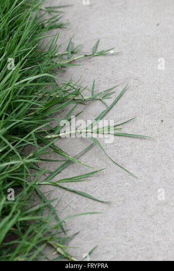 couch grass how to grow