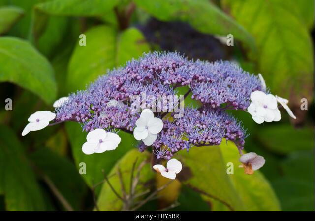 blue flowers small garden shrub stock photos blue. Black Bedroom Furniture Sets. Home Design Ideas