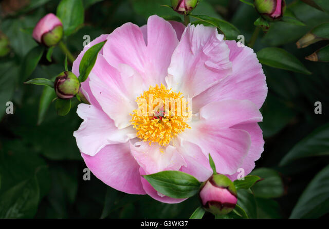 Pink flower yellow center best flower 2017 deciduous shrubs anemone hupehensis anemone hupehensis unidentified flower with five pink petals and yellow center you mightylinksfo Image collections