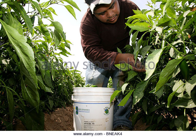 immigrant mexican farm workers picking chile stock image