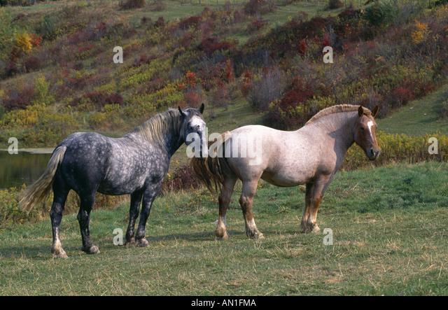Strawberry Roan Horse Stock Photos & Strawberry Roan Horse ... - photo#30