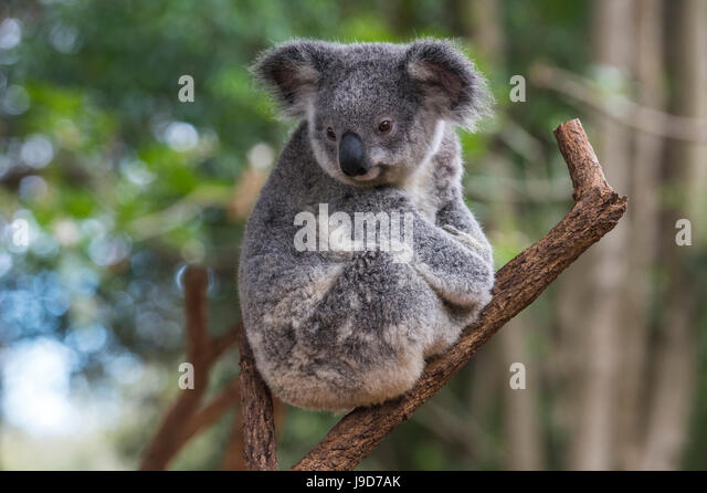 Koala (Phascolarctos cinereus), Lone Pine Sanctuary, Brisbane, Queensland, Australia, Pacific - Stock Image