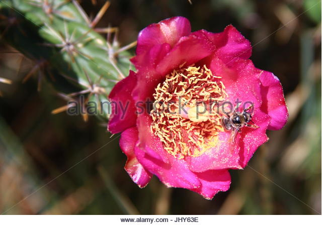 Pink cholla cactus flower stock photos pink cholla cactus flower desert cholla cactus in bloom in new mexico stock image mightylinksfo