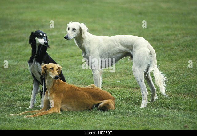 saluki dog. saluki dog standing on lawn - stock image
