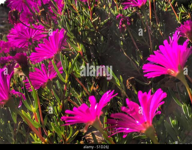 Pink Succulents Stock Photos Amp Pink Succulents Stock