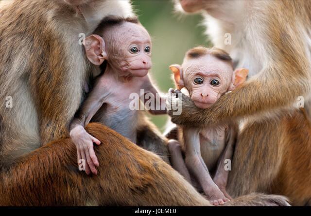 Hatice aslan uc maymun - 1 1