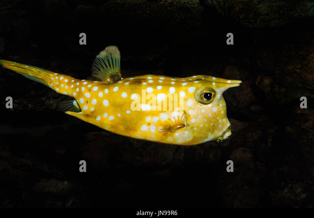 long horned cowfish lactoria cornuta longhorn cowfish kuhfisch lactoria