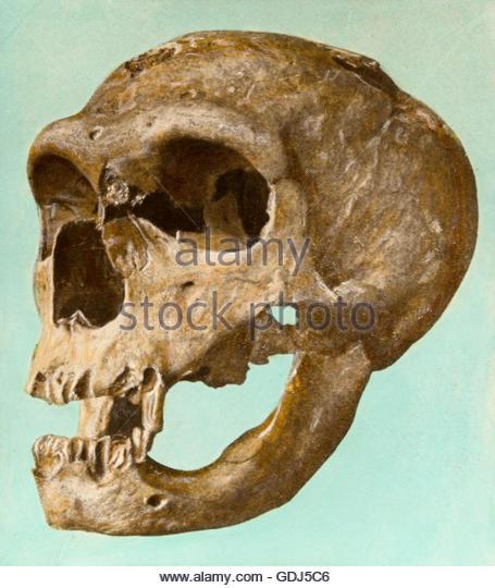 Neanderthal La Chapelle Aux Saints Neanderthal Skull Stoc...