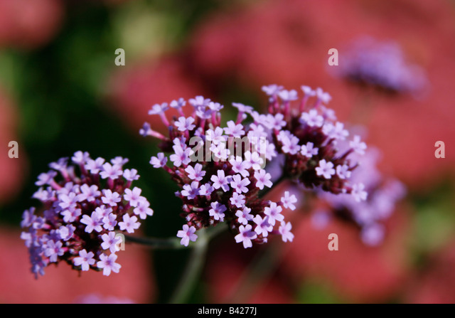 numerous small purple flowers stock photos  numerous small purple, Beautiful flower