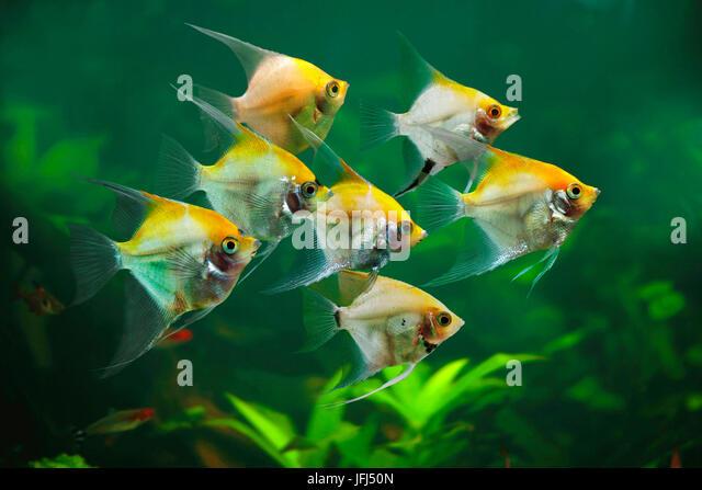 Pterophyllum stock photos pterophyllum stock images alamy for Skalar aquarium