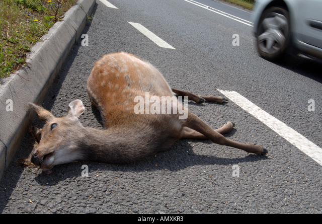how to avoid deer on the road