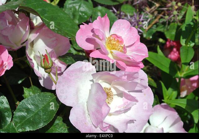 Erfurt Rose Stock Photos & Erfurt Rose Stock Images  Alamy