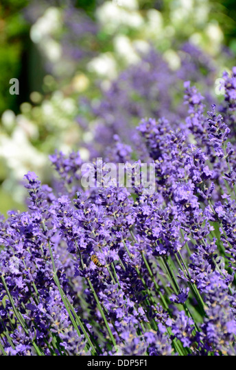 lavandula angustifolia hidcote stock photos lavandula. Black Bedroom Furniture Sets. Home Design Ideas