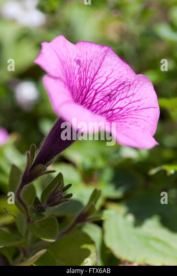 Large pink trumpet flower in stock photos large pink trumpet a large pink trumpet shaped flower in a garden on a bright summers day mightylinksfo