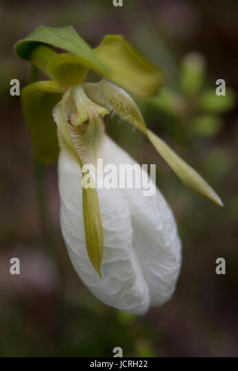 White lady slipper stock photos white lady slipper stock images beautiful white lady slipper cypripedium acaule isolated on a blurry background stock mightylinksfo