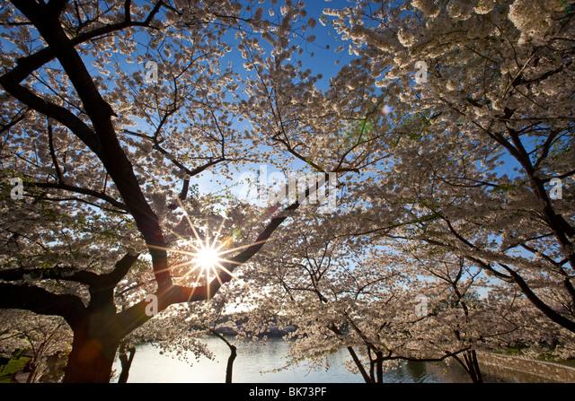 Washington Cherry Blossom Stock Photos Washington Cherry