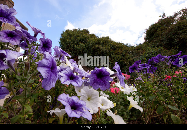 Growing Petunias Stock Photos Amp Growing Petunias Stock Images Alamy