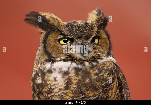 Temple Owl Stock Photos Amp Temple Owl Stock Images Alamy