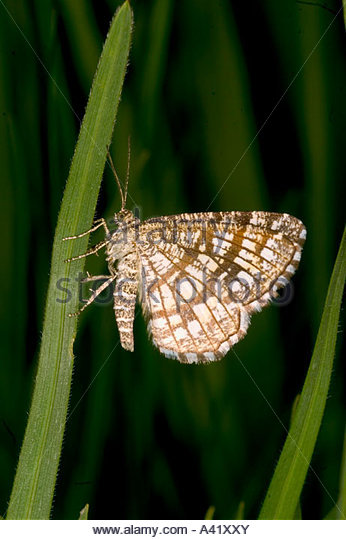 Kleespanner semiothisa clathrata latticed heath stock image