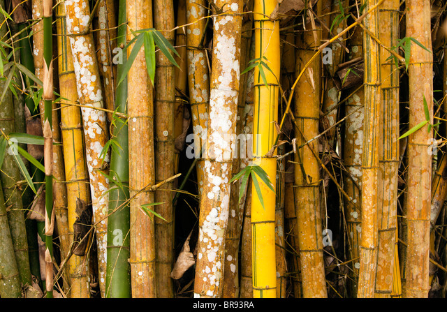 a small grove of tightly packed bamboo offers a nice background for a nature theme