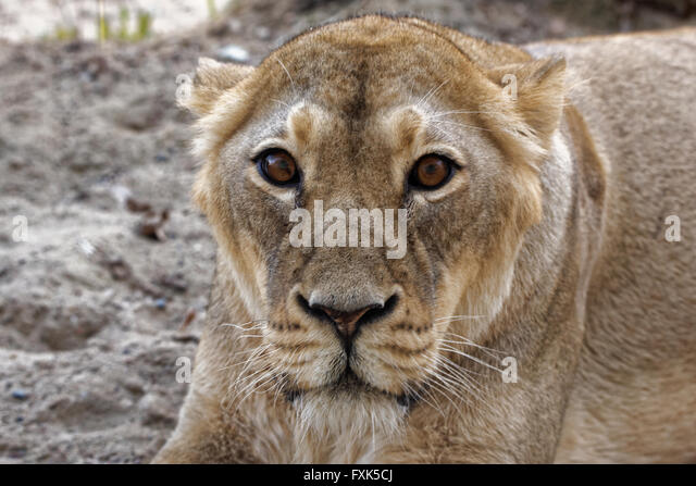 Panthera leo persica - photo#50