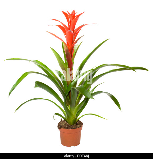 how to cut bromeliad flower