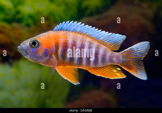 Fairy Cichlid : Lake malawi butterfly cichlid, Fairy cichlid (Aulonocara ...
