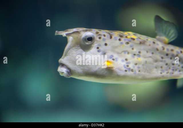 longhorn cowfish swimming stock image