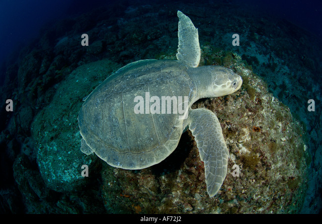 kemp s ridley sea turtle Find out what's known about kemp's ridley sea turtles, lepidochelys kempii, reptilia, testudines, cheloniidae, including their world range and habitats, feeding behaviors, life history.