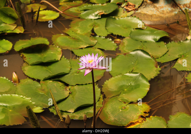 Blue star water lily stock photos blue star water lily for Artificial pond water