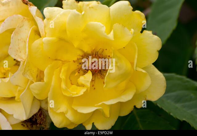 climber rose gate flower stock photos climber rose gate flower stock images alamy. Black Bedroom Furniture Sets. Home Design Ideas
