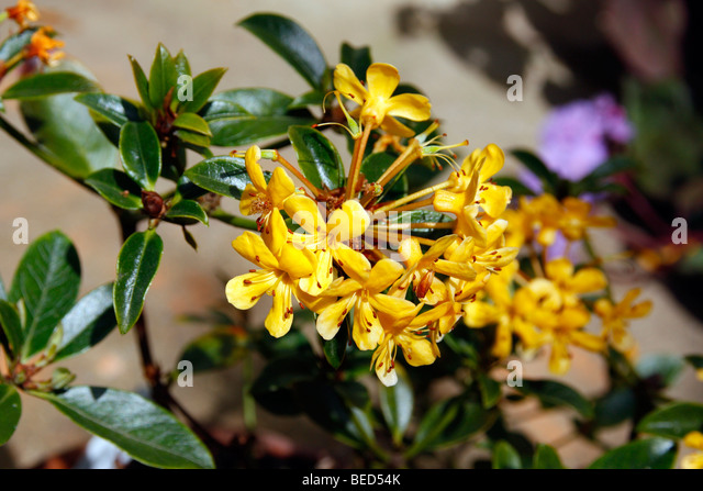 yellow rhododendron stock photos yellow rhododendron. Black Bedroom Furniture Sets. Home Design Ideas
