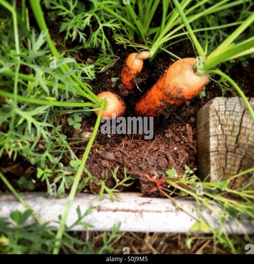 how to grow multiple carrots