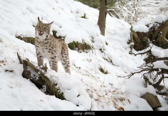 Usual Lynx Stock Photos & Usual Lynx Stock Images - Alamy