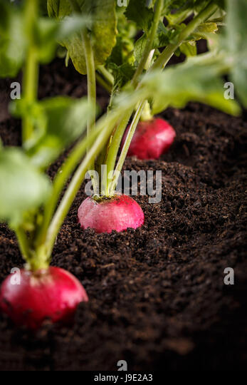 how to grow radish plants