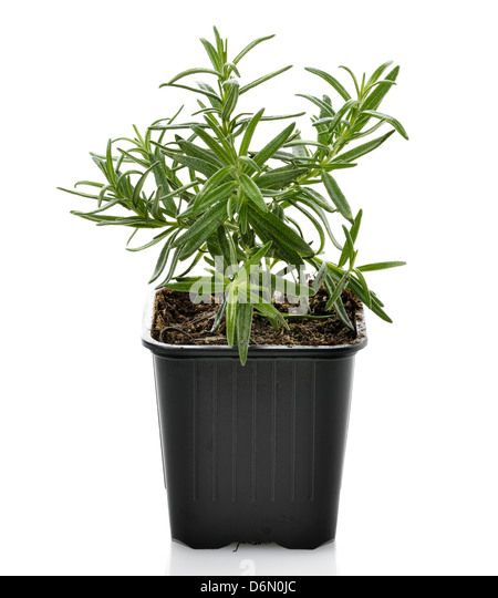 how to grow rosemary in a pot