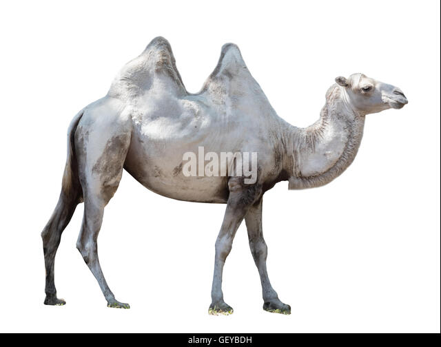 a look at two humped bactrian camel of central asia The wild bactrian camel is a separate species and is the only truly wild (as opposed to feral) species of camel within the world the camel may be a large, even-toed ungulate native to the steppes of central asia.