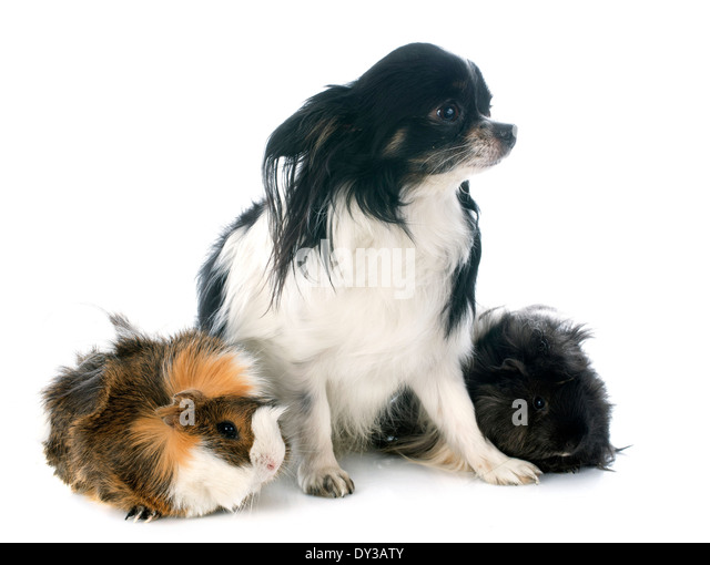 silky terrier haircut pig stock photos amp pig stock images alamy 3327
