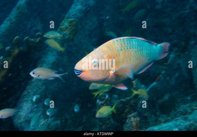 rainbow parrotfish scarus guacamaia Scarus guacamaia - rainbow parrotfish scarus hoefleri - guinean parrotfish scarus longipinnis - highfin parrotfish scarus maculipinna scarus niger - dusky.