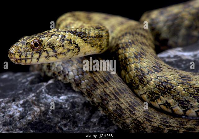 Dice snake, Natrix tessellata - Stock Image