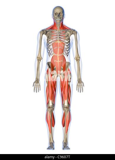 human muscle tissue stock photos & human muscle tissue stock, Muscles