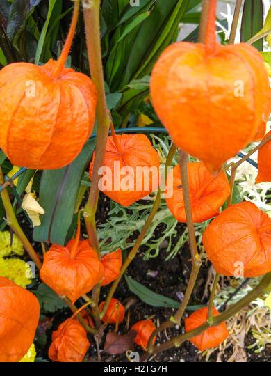 japanese lantern flower stock photos  japanese lantern flower, Beautiful flower