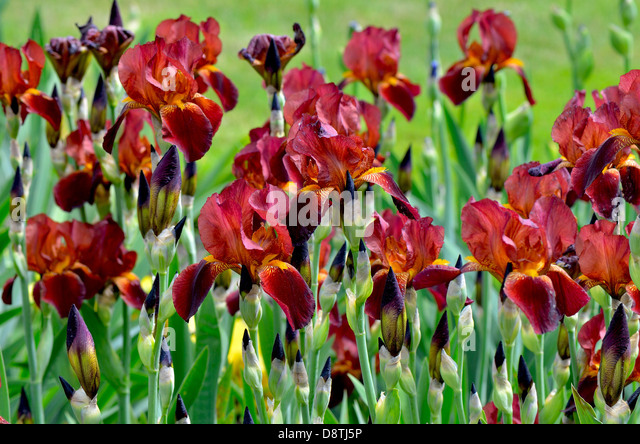 brown iris flowers stock photos  brown iris flowers stock images, Natural flower